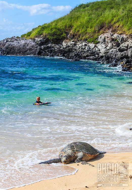 A Hawaiian green sea turtle (or honu) rests at Maui's Ho'okipa Beach while a child  enjoys the sea in the distance.