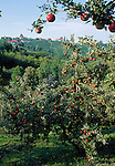 Austria, Styria, Sulztal: apple trees, vineyards at South-Styrian Wine Route