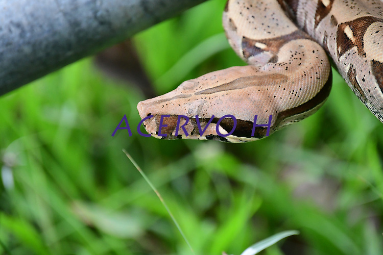 A jiboia-constritora (Boa constrictor) ou simplesmente jiboia[1] é uma serpente que pode chegar a um tamanho adulto de 2 metros (Boa constrictor amarali) a 4 metros (Boa constrictor constrictor), raramente chegando a este tamanho máximo. Existe no Brasil, onde é a segunda maior cobra (a maior é a sucuri) e pode ser encontrada em diversos locais, como na Mata Atlântica, restingas, mangues, no Cerrado, na Caatinga e na Floresta Amazônica.<br /> <br /> No Brasil, existem duas subespécies: a Boa constrictor constrictor (Forcart, 1960) e a Boa constrictor amarali (Stull, 1932). A primeira é amarelada, de hábitos mais pacíficos e própria da região amazônica e do nordeste. A segunda, jiboia-amarali, pode ser encontrada mais ao sul e sudeste do país, sendo encontrada algumas vezes em regiões mais centrais do país.<br /> <br /> É basicamente um animal com hábitos noturnos (o que é verificável por possuir olhos com pupila vertical), ainda que também tenha atividade diurna.<br /> <br /> É considerado um animal vivíparo porque, no final da gestação, o embrião recebe os nutrientes necessários do sangue da mãe. Alguns biólogos desvalorizam essa parte final da gestação e consideram-na apenas ovovivípara porque, apesar de o embrião se desenvolver dentro do corpo da mãe, a maior parte do tempo é dedicado à incubação num ovo separado do corpo materno. A gestação pode levar meio ano, podendo ter de 12 a 64 crias por ninhada, que nascem com cerca de 48 centímetros de comprimento e 75 gramas de peso.
