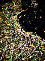 Tree roots along shore of Catherine Creek with fall color. Columbia River Gorge National Scenic Area, Washington