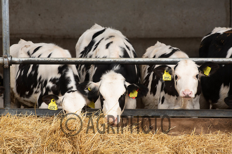 5-10-2021 Dairy young stock eating hay<br /> ©Tim Scrivener Photographer 07850 303986<br />      ....Covering Agriculture In The UK....
