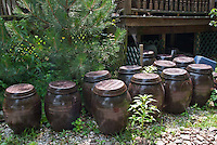 Soy Sauce in Ginger Jars made from growing backyard soybeans Edamame, Glycine Max