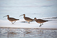 Whimbrels at Pomonio State Beach wander through the surf looking for food.