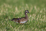 Hen wood duck in a field in northern Wisconsin.