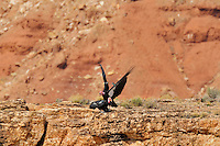California Condor (Gymnogyps californianus) mating near Grand Canyon National Park, Arizona.