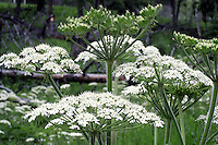 Cow Parnip (Heracleum sphondylium var. lanatum)a member of the carrot family, grows in alpine areas of Yellowstone, with water present. In its early stages (late June - early July)the shoots and leaves are very tender and sweet. A favorite of native Americans and grizzly bears alike!
