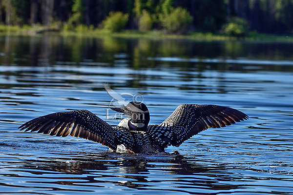 Common Loon (Gavia immer) drying wings.  Northern North America, Summer.  Sometimes also called Great Northern Loon or Diver.