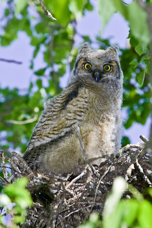 Great Horned Owl chick perched on the edge of its nest