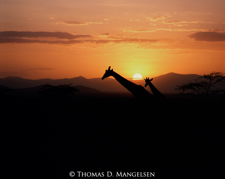 A reticulated giraffe and her young head for a watering hole near Buffalo Springs, Kenya.