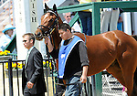 10 May 15: Comedero (no. 3), ridden by Robby Albarado and trained by Michael Stidham, wins the grade 3 Chick Lang Stakes for three year olds at Pimlico Race Track in Baltimore, Maryland.