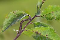 Birkenspanner, Birken-Spanner, Raupe, Biston betularia, Biston betularius, Amphidasis betularia, peppered moth, caterpillar, La phalène du bouleau, Spanner, Geometridae, geometer moths, geometers. Tarnung, Tarntracht, Verbergetracht, Camouflage, Mimese, mimesis, Astmimese, Ästchenmimese, Ast-Mimese