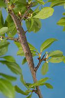 Gelbes Ordensband, Raupe frisst an Schlehe, Catocala fulminea, Yellow Bands Underwing, caterpillar, La Lichénée jaune, Eulenfalter, Noctuidae, noctuid moths, noctuid moth, Ordensbänder