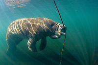 Florida manatee, Trichechus manatus latirostris, a subspecies of West Indian manatee, Trichechus manatus, scratching and flossing with an anchor rope, Homosassa Springs, Florida, USA