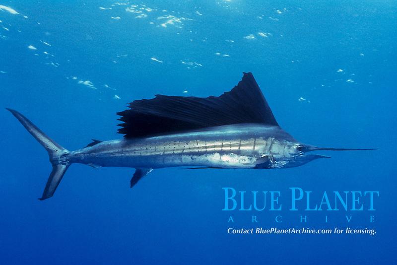 Indo-Pacific sailfish, Istiophorus platypterus, Cocos Island, Costa Rica, Pacific Ocean