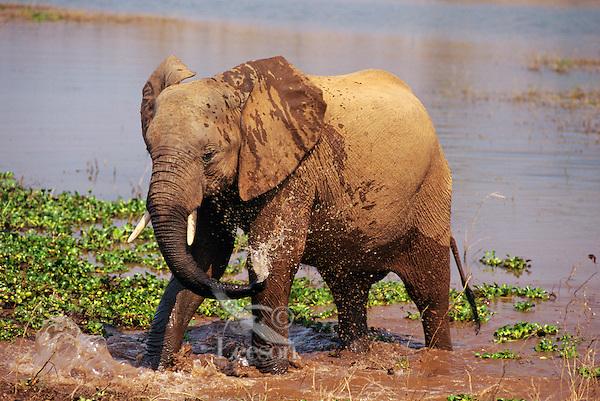 Young African Elephant bathing. Africa.  (Loxodonta Africana)