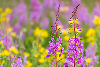 Fireweed and yellow wildflowers, roadside, Alaska.