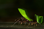 Leafcutter Ant (Acromyrmex echinatior) group carrying leaves, Metropolitan Natural Park, Panama City, Panama