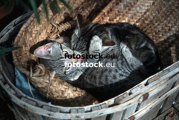 two kittens playing in a basket<br /> <br /> dos gatitos jugando en un cesto<br /> <br /> zwei Kätzchen spielen in einem Korb<br /> <br /> Original: 35 mm slide transparency