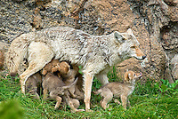 Wild Coyote (Canis latrans) nursing young pups near den.  Western U.S., June.