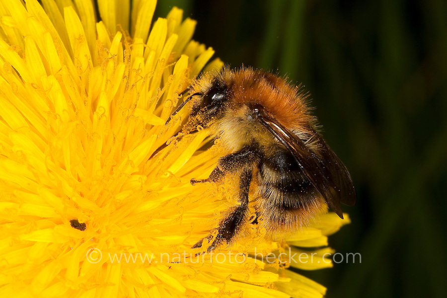 Ackerhummel, Acker-Hummel, Acker - Hummel, Bombus pascuorum, syn. Bombus agrorum, Blütenbesuch an Löwenzahn, Nektarsuche, Bestäubung, common carder bee