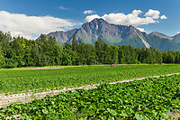 Pioneer Peak in Palmer, Alaska, sets the backdrop for this vegetable farm in the Matanuska Susitna Valley.