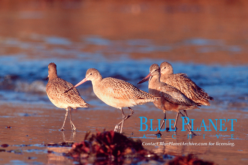 shorebirds in the morning light, Scott's Creek, just south of Davenport, California, East Pacific Ocean