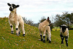 Lambs in Ireland