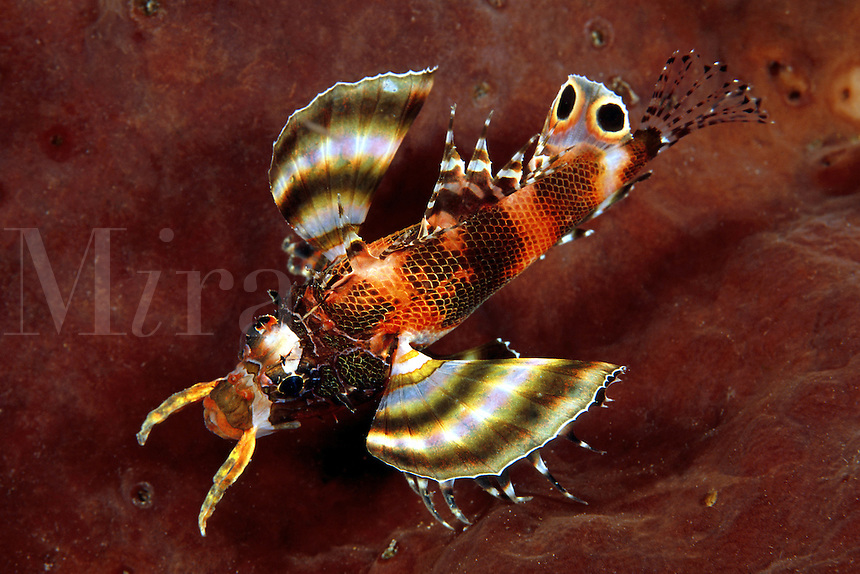 The ocellated lionfish [Dendrochirus biocellatus] is rarely seen during the day, preferring night time to forage for prey. Indonesia.