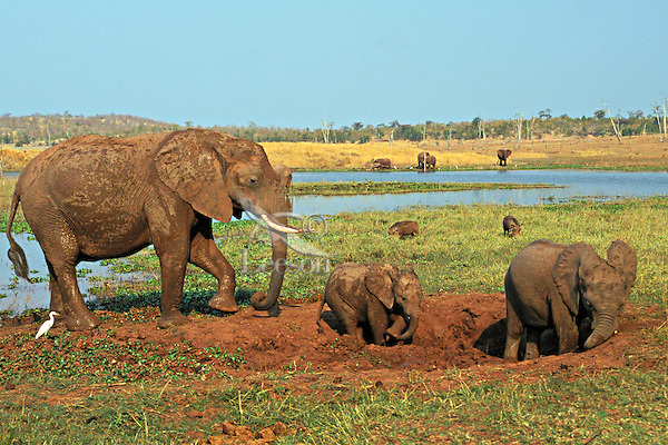 African elephant (Loxodonta africana) family enjoying a mud hole.  Africa.