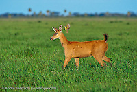 Marsh Deer (Blastocerus dichotomus), young male in open savanna habitat, a flycatcher follows to feed on insects, Llanos de Mojos, Beni, Bolivia.