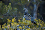 Spruce Grouse (Falcipennis canadensis) male in winter, Manitoba, Canada