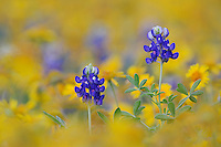 Texas Bluebonnet (Lupinus texensis), blossom in wildflower field, Fennessey Ranch, Refugio, Coastal Bend, Texas, USA