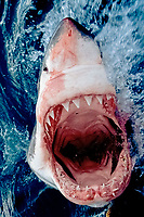 great white shark, Carcharodon carcharias, with mouth open, showing teeth, jaws, throat, South Africa