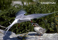 MC73-012z  Arctic Tern - parent feeding young chick - Machias Seal Island, Bay of Fundy - Sterna paradisaea