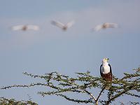 Great White Pelicans fly past an African Fish Eagle at Lake Manyara.