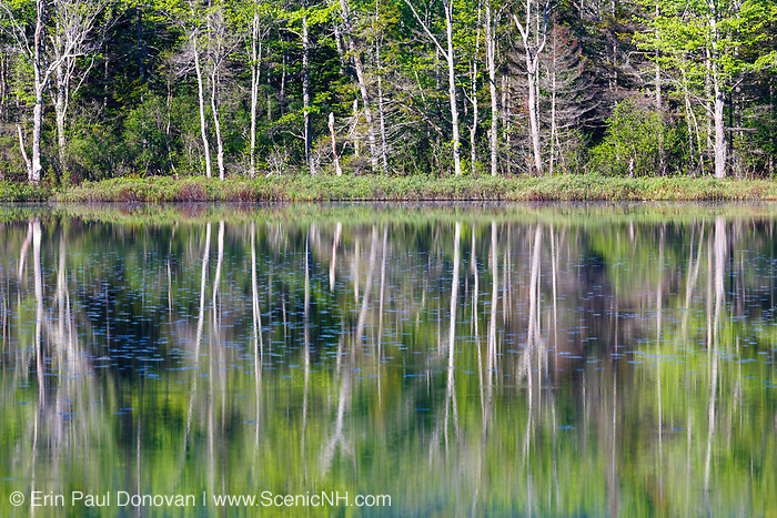 Reflection of forest in Elbow Pond in Woodstock, New Hampshire during the spring months. Species of fish in Elbow Pond include chain pickerel, yellow perch and smallmouth bass. This area was logged during the Gordon Pond Railroad era (1907-1916).