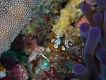 Squat shrimp, Bohol, Philippines 2016