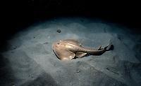 Thornback Ray, Platyrhinoidis triseriata, on sandy bottom, Channel Islands, California, USA, - Pacific Ocean