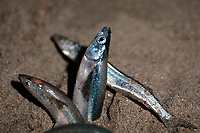 grunion, Leuresthes tenuis, spawning on beach at night, California, USA, East Pacific Ocean