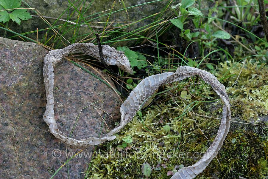Ringelnatter, Ringel-Natter, Natter, abgestreifte Haut, Häutung nach Wachstum, Natternhemd, Nattern-Hemd, Natrix natrix, grass snake