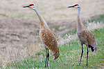 A pair of Sandhill Cranes in early spring in Montana