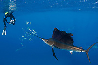 Takako Uno photographs Atlantic sailfish, Istiophorus albicans, attacking bait ball of Spanish sardines (aka gilt sardine, pilchard,