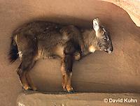 0526-1101  Chinese Goral, Nemorhaedus griseus (Naemorhedus griseus)  © David Kuhn/Dwight Kuhn Photography