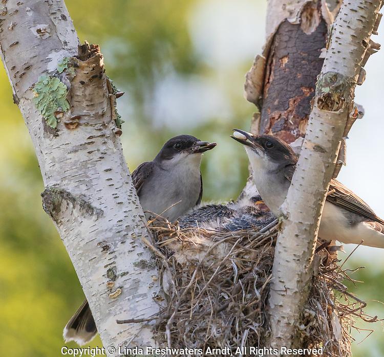 Eastern kingbirds removing fecal sack from the nest.