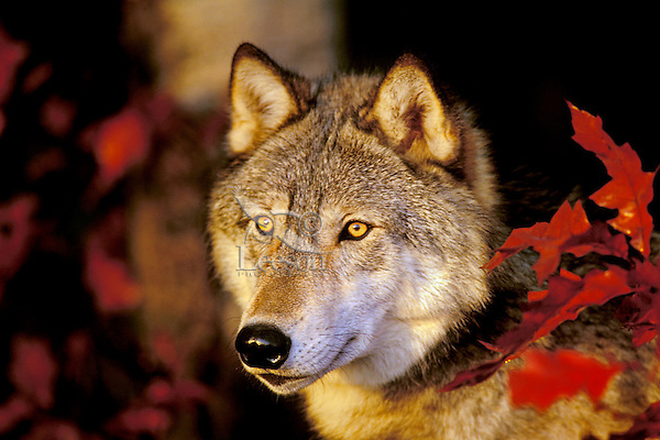 Gray wolf peering out from forest edge.  Fall.