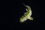 Amberjack,juvenile, Seriola species, ID Bruce C. Mundy, NOAA