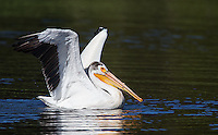 American white pelicans are a striking subject to photograph.