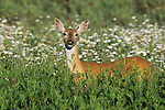 Whitetail doe in a field of daisies in Montana