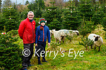 Paudie Surue of Bellfield Nursery has replaced the geese he used to use to weed the ground around his seven acres of Christmas trees with Shropshire Sheep standing with his son Jayden.
