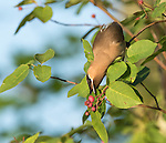 Cedar waxwing picking berries off of a serviceberry bush